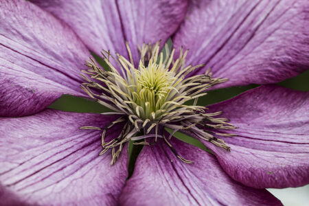 clematis flower: Macro photo of a beautiful pink Clematis flower - Flower Photography.