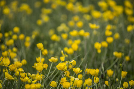 buttercups: Field of bright yellow buttercups and green grass -  Flowers Photography