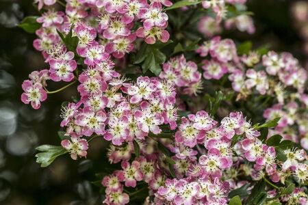 tiny: Macro photography of tiny pink blossom flowers.