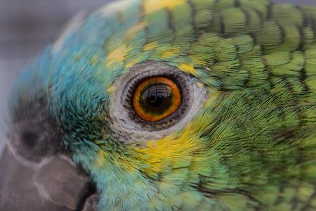 loros verdes: Macro foto de una loros ojo verde - la fotograf�a de aves