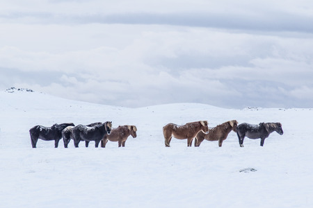Photo of the horses at Reykjanes Peninsula, Iceland. The landscape is covered in snow. Photo taken in Iceland in December 2014I