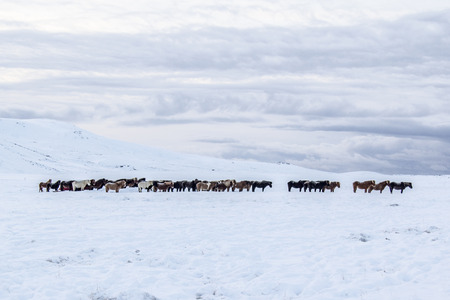 Photo of the horses at Reykjanes Peninsula, Iceland. The landscape is covered in snow. Stock Photo