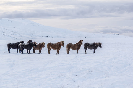 Photo of the horses at Reykjanes Peninsula, Iceland. The landscape is covered in snow. Photo taken in Iceland