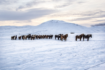 Photo of the horses at Reykjanes Peninsula, Iceland. Mountains in the background and snow on the ground.