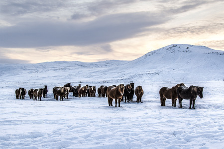Photo of the horses at Reykjanes Peninsula, Iceland.