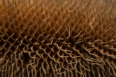 pointy: Dried up spicky pointy thistle reed close up