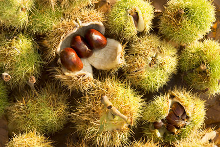 A full frame shot of prickly sweet chestnut shells Reklamní fotografie
