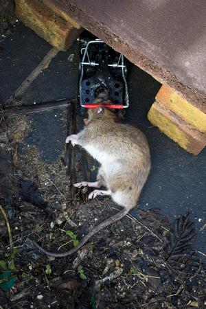 vermin: Dead rat caught in a plastic rat trap Stock Photo