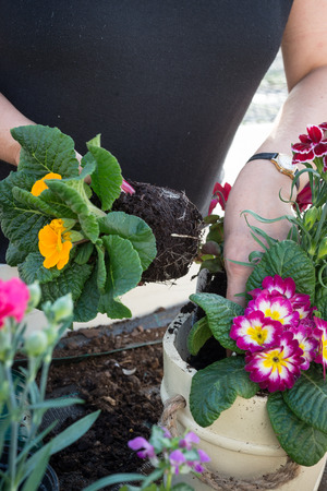 pinks: Lady in a black T-shirt gardening, arranging a spring flower display of pinks and primroses in a cream pot. Stock Photo