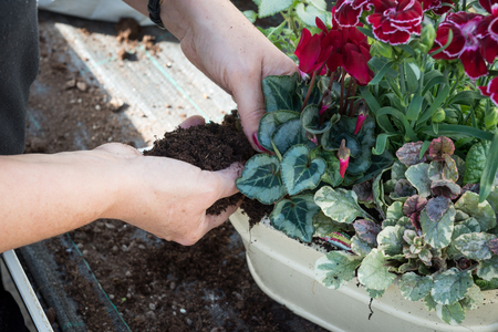 pinks: Womans hands planting in a garden nursery full of soil with purple coloured cyclamen Stock Photo