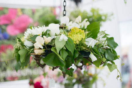 hanging basket: A pretty white and green hanging basket with ivy and white sweet peas