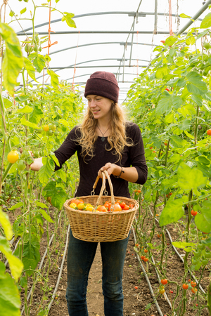 picks: A smiling blonde lady in purple wooly hat picks produce from rows of organically grown baby plum tomatoes in a large greenhouse. She holds a wicker basket with yellow, orange and red tomatoes. Stock Photo