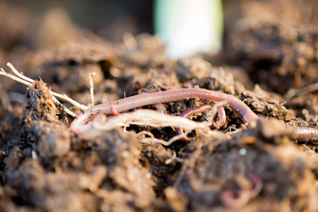 wiggler: Closeup of earthworms on soil