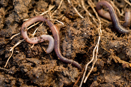 Macro shot of earthworms roaming around dirt