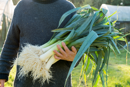 Farmer carrying a big bunch of leeks with cleaned roots on a sunny day Stock Photo