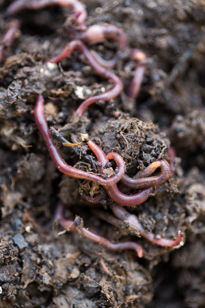 wiggler: Closeup of earthworms on compost Stock Photo