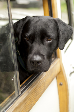 Head of a black dog sticking out of a car window