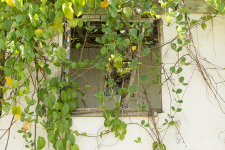 Broken window of an abandoned house behind vines Stock Photo