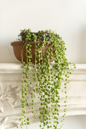 String of pearls plant on a fireplace mantel Stockfoto