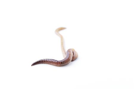 Single long earthworm isolated on white background