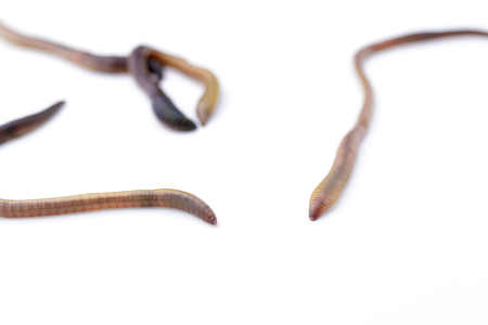 Close up of earthworms on a white background