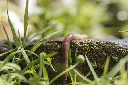 Slimy earthworm dangling by a damp stone block macro