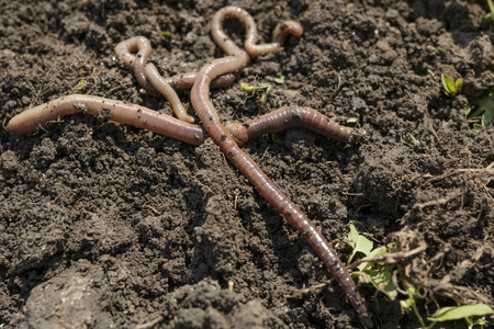 Worms crawling on dirt close up photo Stock Photo