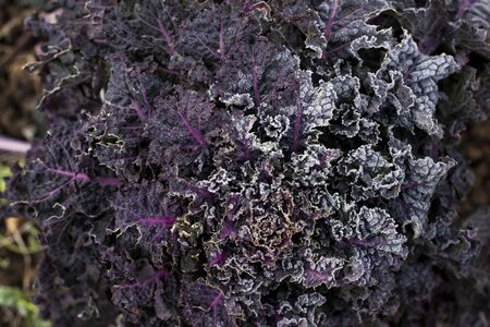 Close up shot of purple leaves of a kale plant 免版税图像