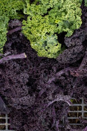 Overhead view of purple and green kale leaves in a plastic crate 免版税图像