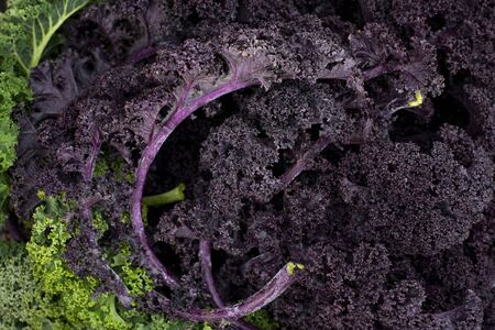 Close up shot of fresh purple kale leaves