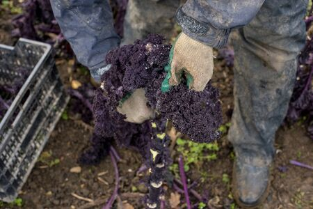 Worker trimming a purple kale plant for harvest