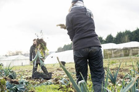 Male and female farm workers on a field uprooting leeks for harvest