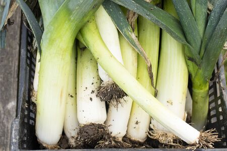 Close up of farm fresh leek stalks in a black plastic crate