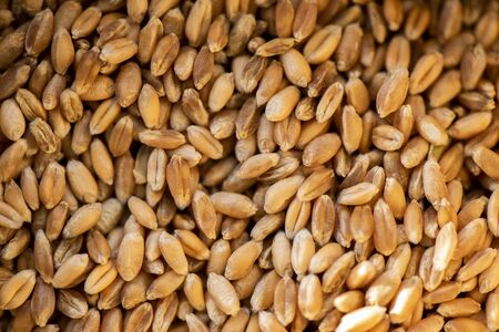 Close up shot of fresh wheat grains