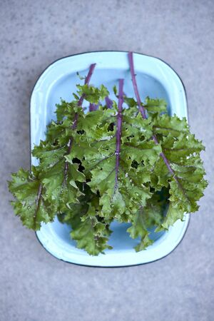 Red russian kale leaves in blue round rectangluar deep dish top view