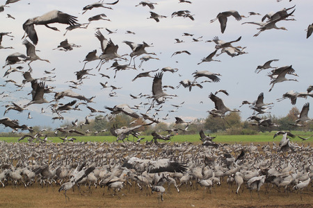 conveys: A flock of many hundreds of stork birds. Some of the birds are feeding on the ground, some are flying in the air. Conveys a feeling of a huge crowd of birds. Such a flock can be devastating to agricultural fields.