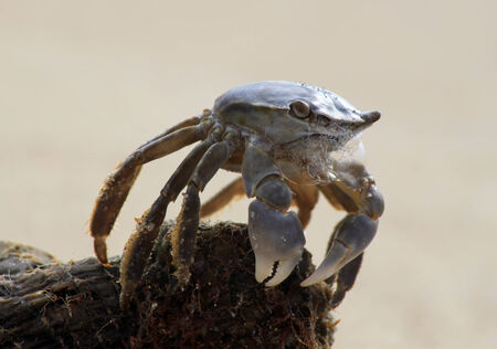 fiddler: A crab sitting on a piece of driftwood on white sand. The crab is foaming and making bubbles from his mouth. Stock Photo