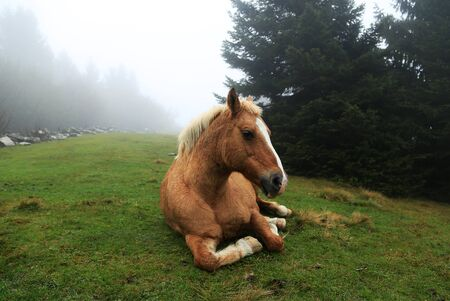 A brown horse is sitting on green grass in a misty forest. photo