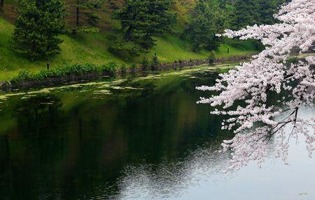 river banks: White sakura cherry blossom on river banks in Tokyo.