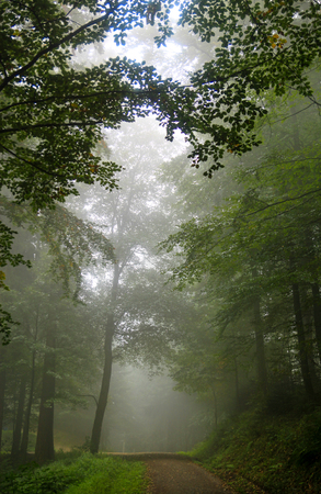 engulfed: Forest tree alley engulfed in deep mist.