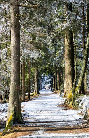 冬に松の木が雪の路地。