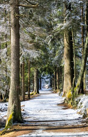 alley: Snowy alley with pine trees at winter.