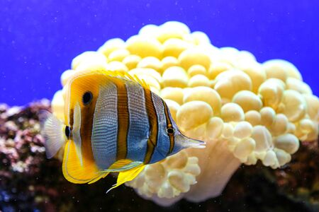 chaetodon: Yellow and white striped fish with sea cabbage background.