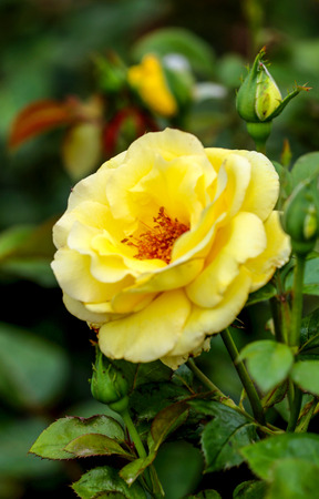 roses petals: Yellow rose in a rose garden with green leaves. Stock Photo