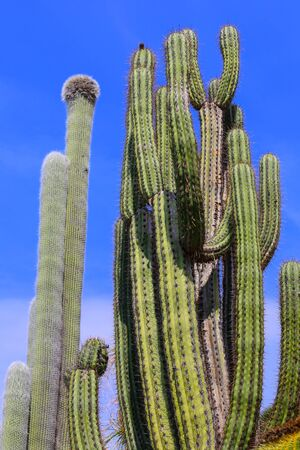 cactus species: Two distinct cactus species with blue sky.