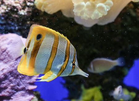 chaetodon: Yellow and white striped fish with sea background. Stock Photo