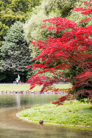 fall landscape: Japanese Red Tree near Eisbach river in Munich, Germany.