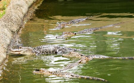 Feeding alligators in a closed water pool with a pole.
