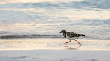 Small sandpiper bird is running on an ocean shore at sunset.