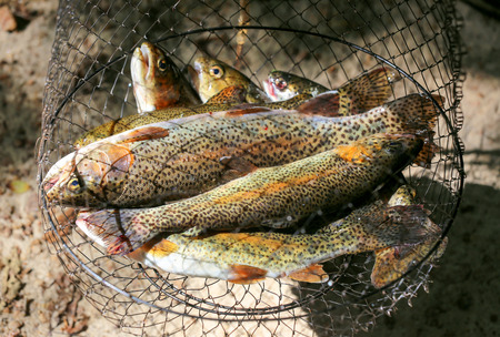 brook trout: Brook trout fish in a fishing net after fishing.
